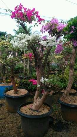 Jual tanaman hias dan pohon pelindung 081292127731